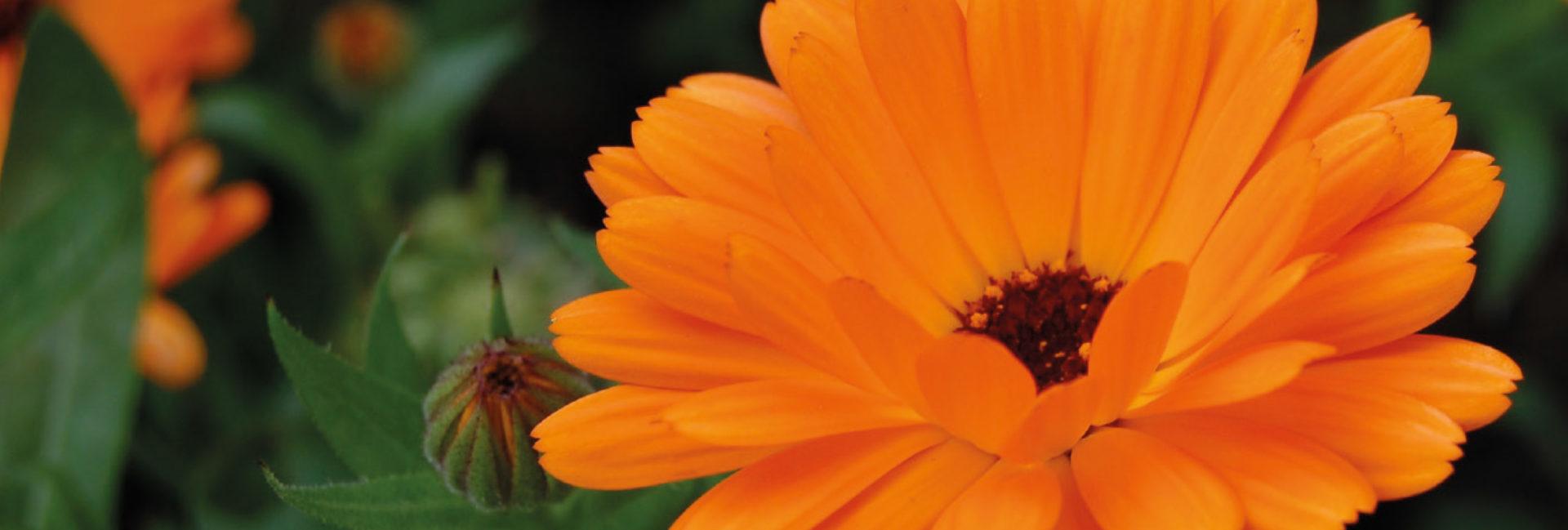 Calendula - Praxis für Homöopathie MONIKA JAEGER
