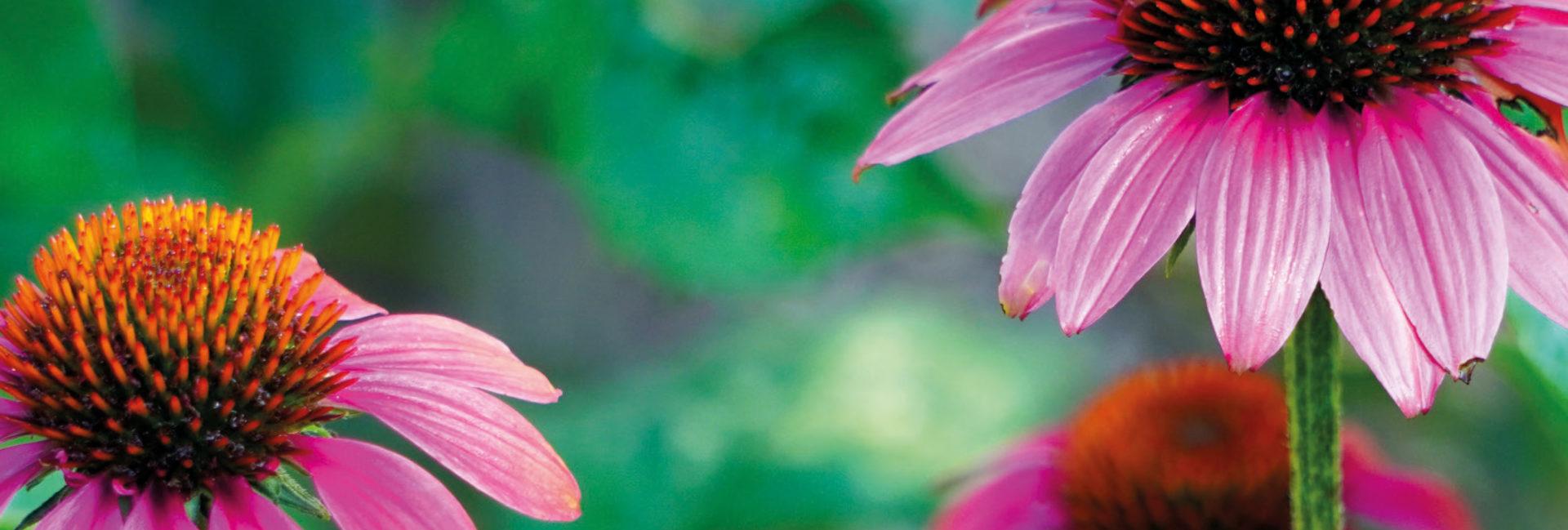 Echinacea - Praxis für Homöopathie MONIKA JAEGER